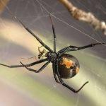 Los machos de arañas espalda roja buscan hembras jóvenes para aparearse y que no se los coman