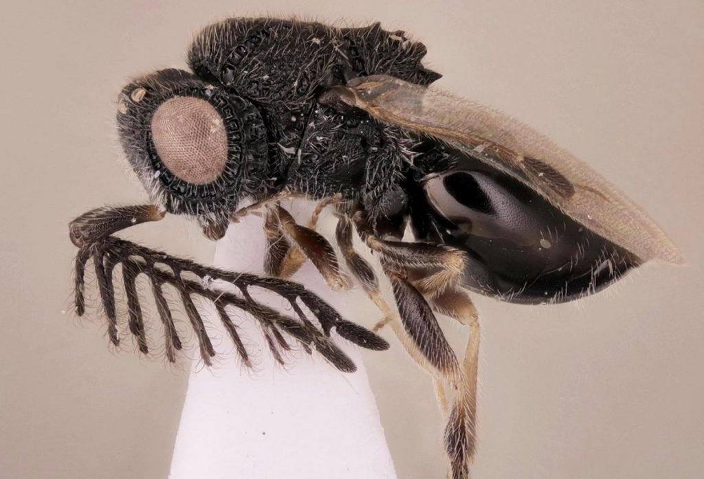 Ejemplar de la nueva especie de avispa parásita, con sus dientes de sierra en la espalda- Carolyn Trietsch