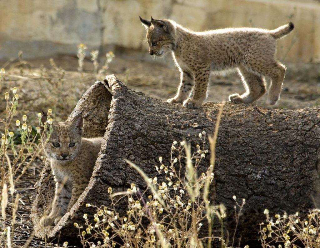 Las especies en peligro de extinción menos conocidas, reciben poca ayuda para recuperarse