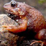 En lo alto de los Andes, surgen nuevas variedades de ranas