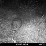 La población de mapaches está fuera de control en Europa