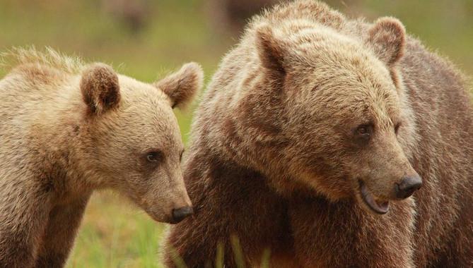 Hembra de oso pardo escandinavo con su cría. / Ilpo Kojola
