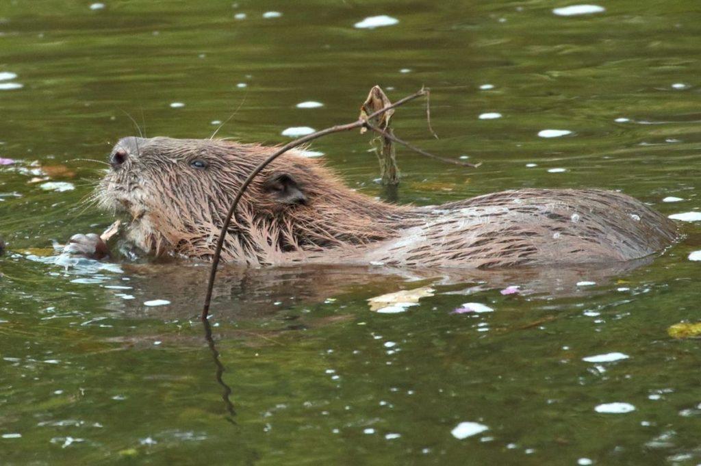 Los castores ayudan a limpiar los ríos contaminados
