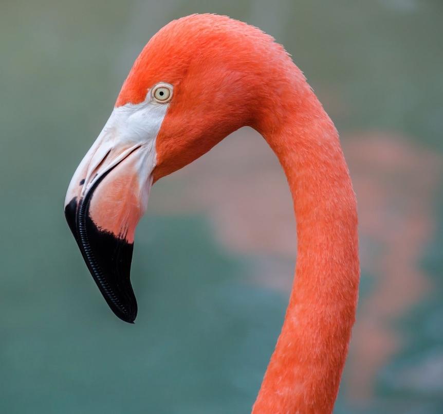 Flamenco rosa del caribe