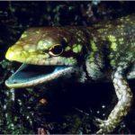 El misterio de los lagartos de sangre verde de Nueva Guinea