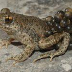 Un 'spotify' de cantos de ranas para luchar contra el cambio climático
