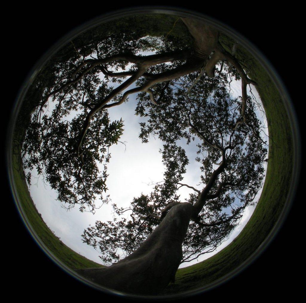 Fotografía hemisférica de la copa (desde debajo con una cámara digital con un objetivo de 'ojo de pez') de uno de los guayabos estudiados- Agustina Ventre