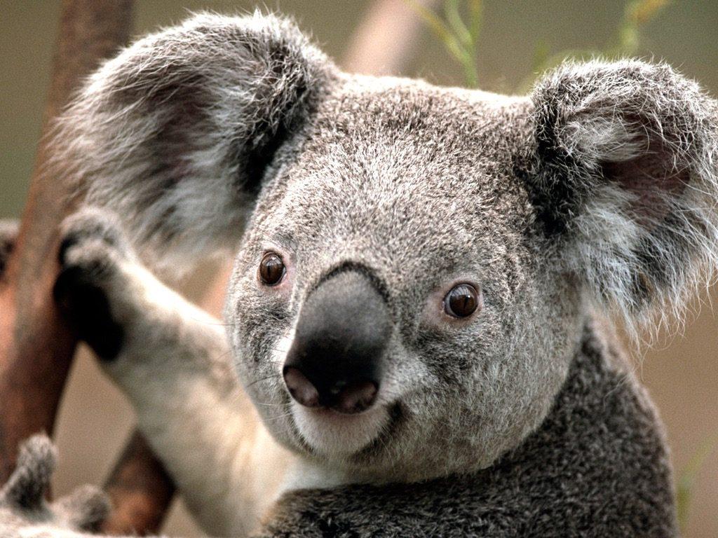 Koala- mariagc99