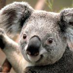 El koala, una especie que cada vez tiene menos ejemplares, puede salvarse con su genoma