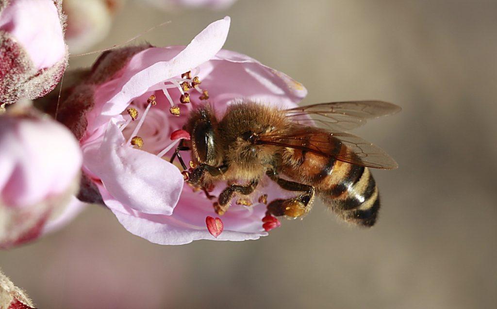 Las abejas y la polinización- Universidad de Almería