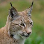 La caza ilegal amenaza a los linces europeos