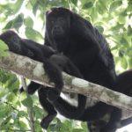 Día Internacional del Chimpancé, el 14 de julio