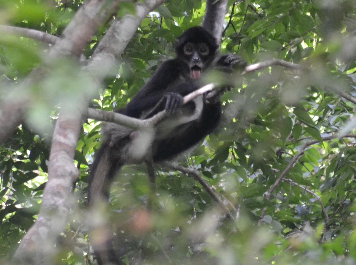 Mono araña de manos negras (Ateles geoffroyi)