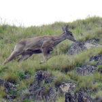 """La taruka, un ciervo sudamericano, que está """"en peligro"""""""