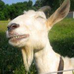 Las cabras prefieren a quienes tienen la cara feliz