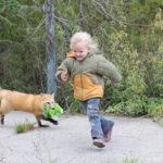 60 años de selección genética para domesticar zorros