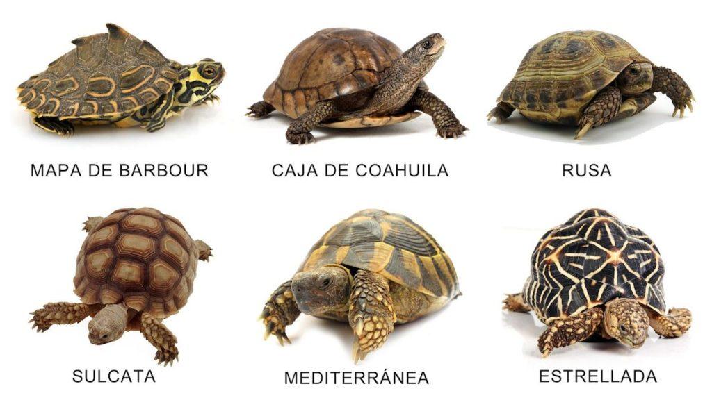 Especies de tortugas terrestres- Composición hogarmania