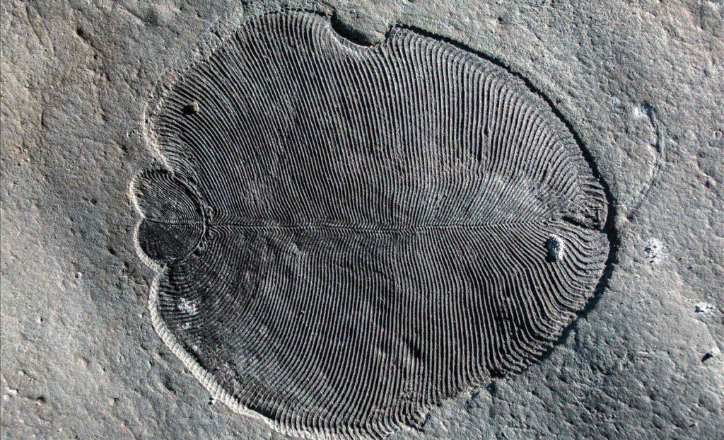 Fósil de Dickinsonia preservado orgánicamente en el Mar Blanco de Rusia Ilya Bobrovskiy The Australian National University