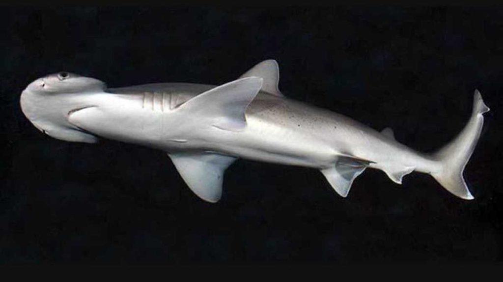 Tiburón cabeza de pala- Ross Robertson