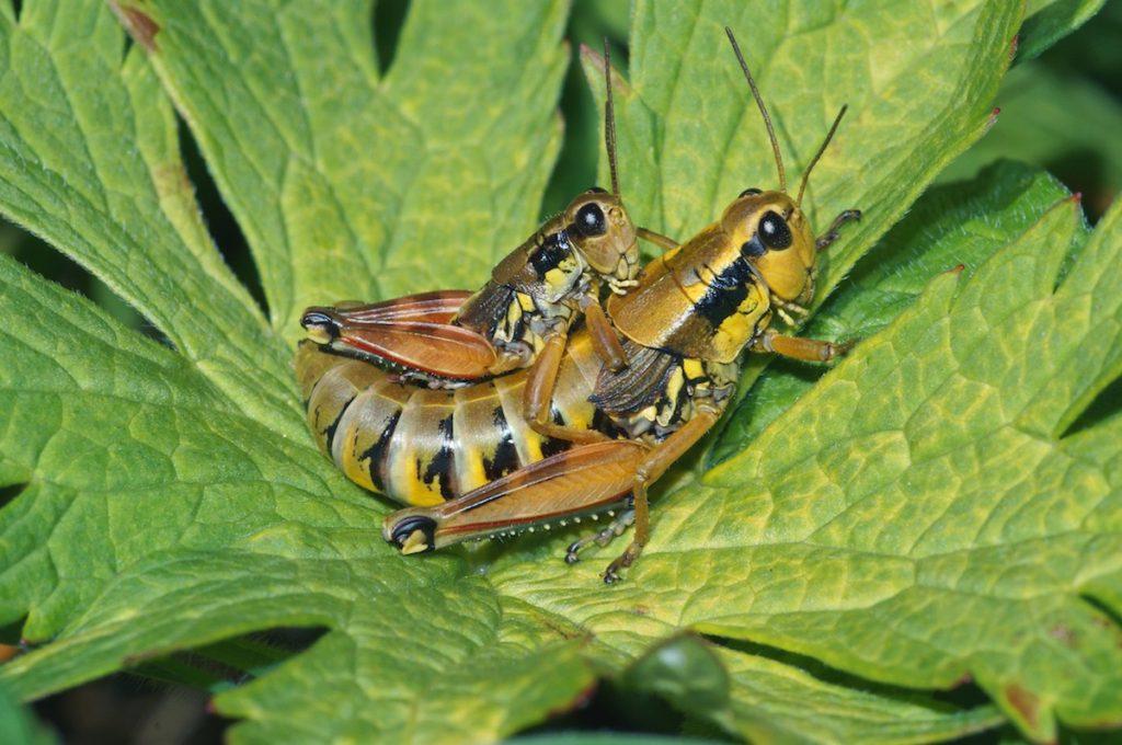 Los saltamontes Podisma pedestris son uno de los invertebrados que se pueden encontrar en el Parque Nacional Suizo. / Thomas Reich, WSL