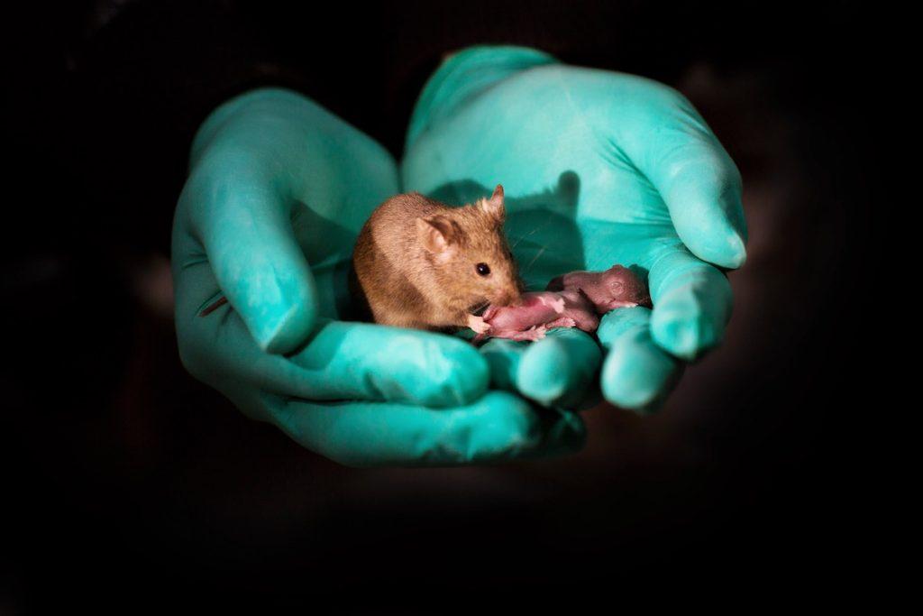 Crías de ratón nacidas de dos madres- Leyun Wang