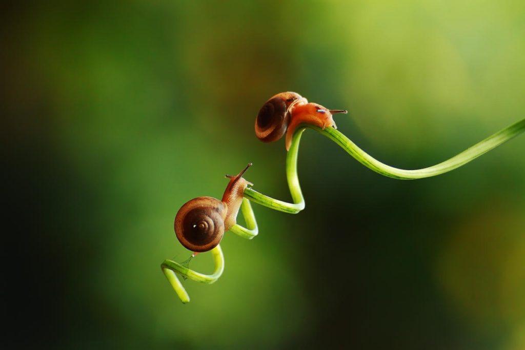 Dos caracoles de jardín
