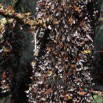 Las mariposas Monarca ya están llegando a México. Sus santuarios, ya están abiertos