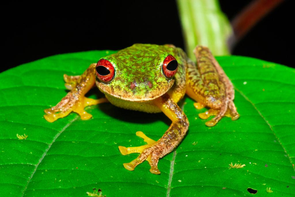 Duellmanohyla soralia, habita en Guatemala y Honduras