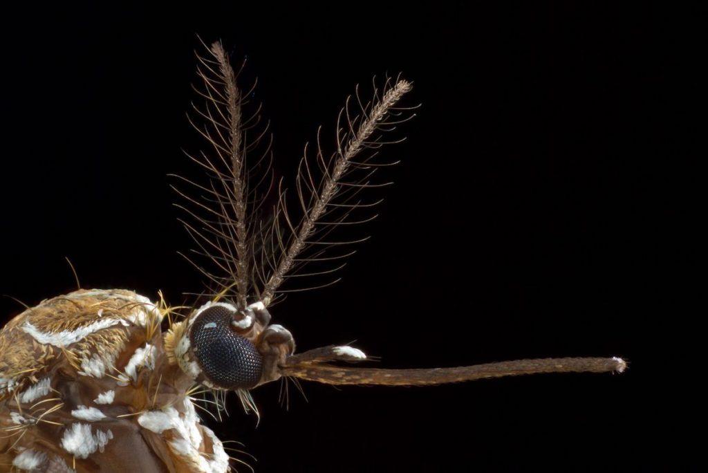 Mosquito hembra de Aedes aegypti- Alex Wild