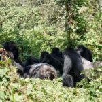 Los gorilas velan a sus seres queridos y hasta a desconocidos