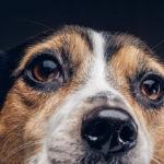 """Los perros """"hacen ojitos"""" porque así se comunican mejor. Su anatomía facial evolucionó"""
