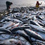 El pescado hoy tiene más mercurio, por la sobrepesca y el cambio climático