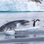 Pingüino que corre por su vida