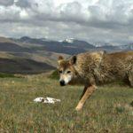 Lobo del Himalaya a 5,000 metros de altitud- Geraldine Werhahn